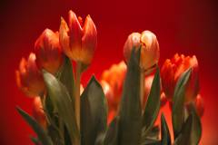 blumen flora orange tulpen wallpaper